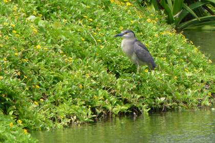 Night Heron on the edge of the Lagoon