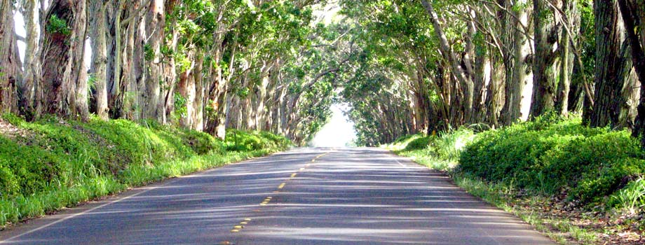 Image result for Maluhia Road (Tree Tunnel)